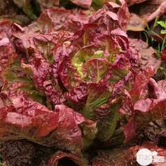 Plants de batavia rouge Grenobloise : barquette de 24 plants