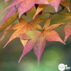 Acer palmatum : H 60/80 cm, greffé, ctr 10 L