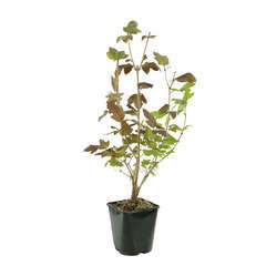 Viburnum opulus ' Roseum ' : H 60/80 cm ctr 4 litres