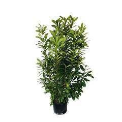 Prunus laurocerasus ' Caucasica  ' : H 150/175 cm ctr 25 litres