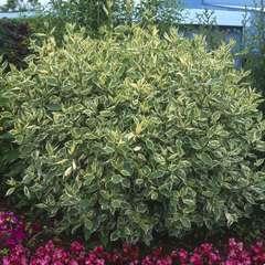 Cornus alba  :  H 60/80 cm : ctr 3 litres