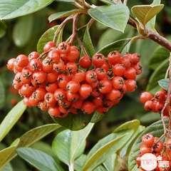 Cotoneaster lacteus : ctr 4 litres