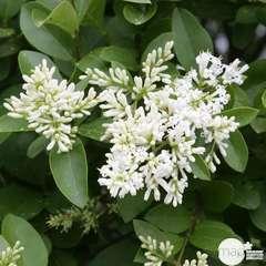 Ligustrum ovalifolium :H 80/100 cm  ctr 10 litres