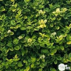 Ligustrum ovalifolium ' Aureum ' : H 60/80 ctr 4 litres