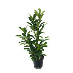 Prunus laurocerasus ' Caucasica  ' : H 60/80 cm ctr 4 litres