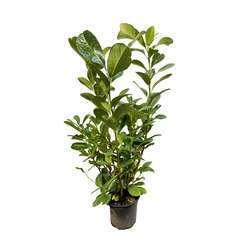Prunus laurocerasus ' Rotundifolia ' : H 60/80 cm ctr 4 litres