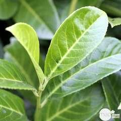 Prunus laurocerasus ' Rotundifolia ' : H 100/125 cm ctr 7 litres