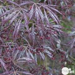 Acer palmatum 'Atropurpureum' C3L