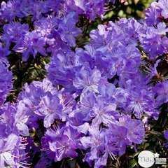 Rhododendron nain : Hauteur 25/30 cm 3L - Coloris variables