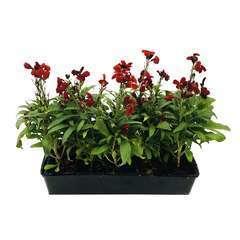 Giroflée ravenelle rouge : barquette de 10 plants