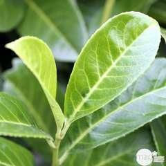 Prunus laurocerasus ' Rotundifolia ' : H 40/60 cm ctr 3 litres