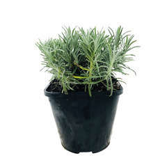 Lavandula angustifolia : C2L - Coloris variables