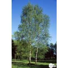 Betula verrucosa : baliveau H 175/200 cm ctr 15 litres