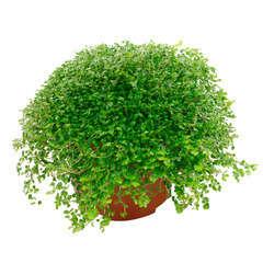 Helxine : plante Ø12cm pot