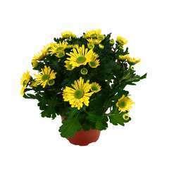 Chrysanthème multifleur:3 boutures pot diamètre 11 cm