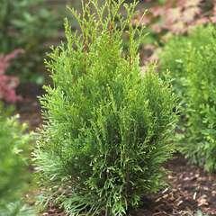 Thuya occidentalis Emeraude H : 80/100 cm, ctr 7L (conique, vert brill