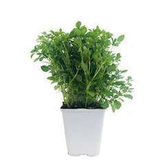 Plant de basilic fin vert : pot de 1 litre