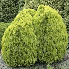 Thuya orientalis Aurea Nana, H : 30/40 cm, ctr 4L