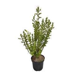 Ligustrum ovalifolium ' Aureum ' : H 80/100 ctr 7 litres