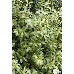 Pittosporum Tenuifolium : ctr 7 litres
