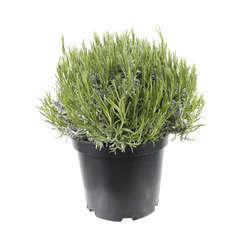 Lavandula angustifolia : H. 40/50 ctr 7/10 litres - Coloris variables