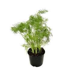 Plant de fenouil : pot de 1 litre