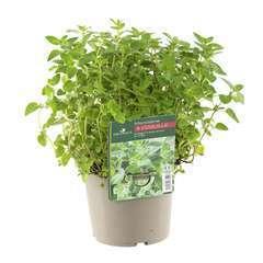 Plant de marjolaine origan : pot de 1 litre