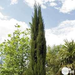 Cupressus Sempervirens Stricta :  H. 400/450