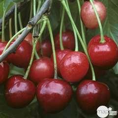 Cerisier Bigarreau Marmotte : demi tige ctr 15 litres