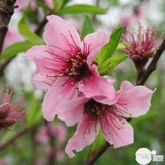 Nectarinier Nectarose : demi tige ctr 15 litres