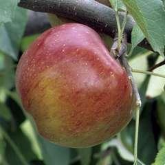 Pommier Melrose : demi tige prêt à planter