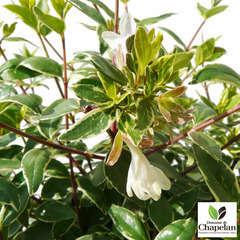 Abelia x grandiflora 'Lucky Lots ® :conteneur 5 litres