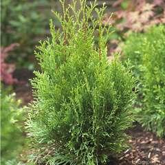 THUYA occidentalis Emeraude C4L (conique, vert brillant)