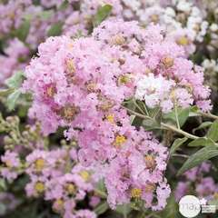 Lagerstroemia indica : H 40/60 cm ctr 4 litres