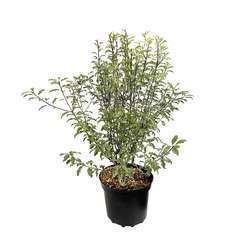 Pittosporum tenuifolium 'Variegatum' : hauteur 50 à 60cm pot 5 litres