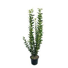 Ligustrum ovalifolium :H 60/80 cm  ctr 4 litres