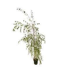 Betula verrucosa 'Youngii': baliveau monté de pied H175/200cm ctr7,5L