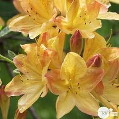 Azalea mollis : arbuste, ctr 4L, 40/50 cm