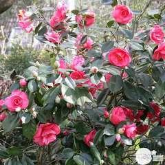 Camellia japonica:Variétés variables h.30/40cm C3L