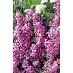 Erica darleyensis hiver : ctr 2 L