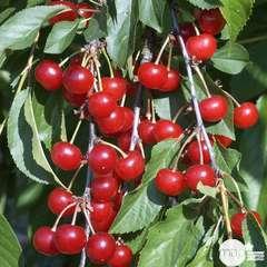 Cerisier griotte de Montmorency : gobelet 3 ans d'âge ctr 12 litres