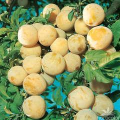 Prunier Reine-Claude dorée : gobelet 3 ans d'âge ctr 12 litres