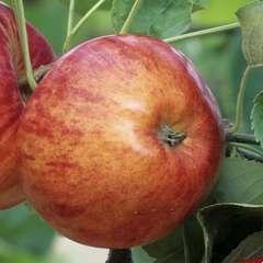Pommier Reine des Reinettes : demi tige près à planter