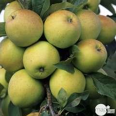 Pommier golden delicious : demi tige prêt à planter
