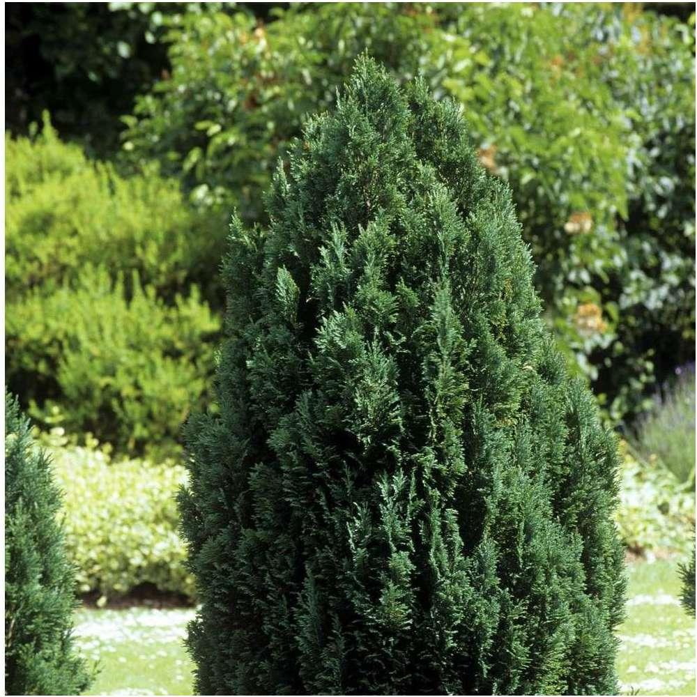 Chamaecyparis Lawsoniana Ellwoodii 90