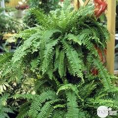 Néphrolepsis : plante Ø24cm, pot
