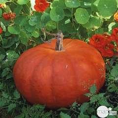 Plant de potiron rouge 'Hâtif d'Etampes' : pot de 0,5 litre