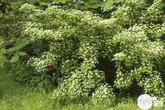 Plants de fraisiers 'Rabunda' : barquette de 6 plants