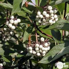 Cornus stolonifera  : H 60/80 : ctr 4 litres