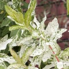 Salix integra ' Hakuro Nishiki ' : 1/2 tige 110 cm de H ctr